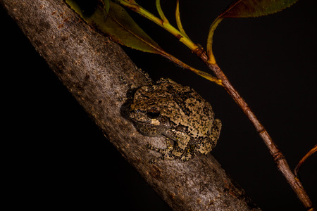 cold blooded: Gray Treefrog on tree branch  Stock Photo