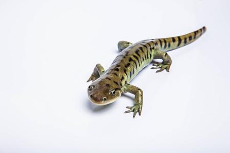 Tiger Salamander isolated on white Фото со стока