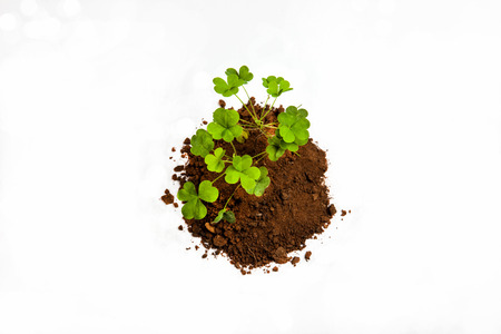 Clovers growing from soil isolated on white