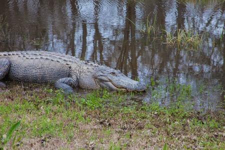 Alligators 版權商用圖片