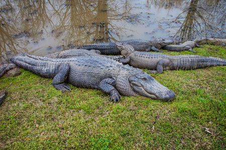 Alligators Фото со стока