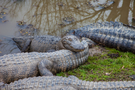 blooded: Alligators Stock Photo