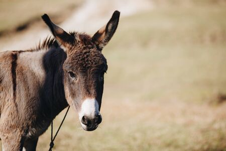brown donkey eats dry grass next to farm close-up
