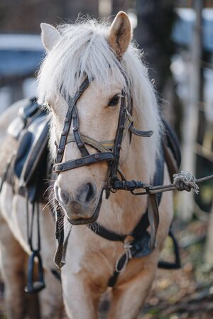 Portrait of a beige horse with a bridle close-up. 免版税图像