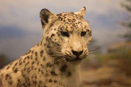 Leopard in a museum