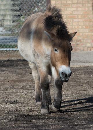 Przhevalsky horse