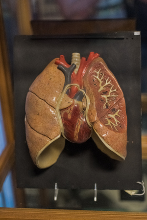 Human lungs and heart Stock Photo