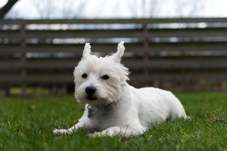 West Highland White Terrier Stock Photo