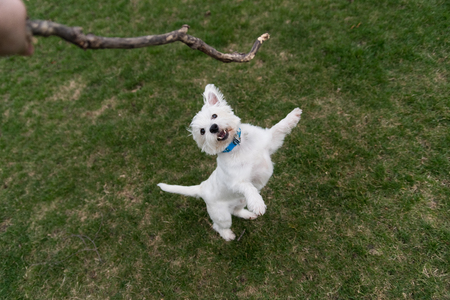 West Highland White Terrier playing outside with a stick Stock Photo