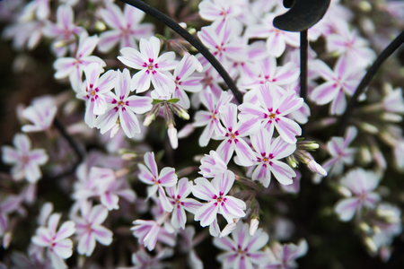 Pink flowers on a ground Stock Photo
