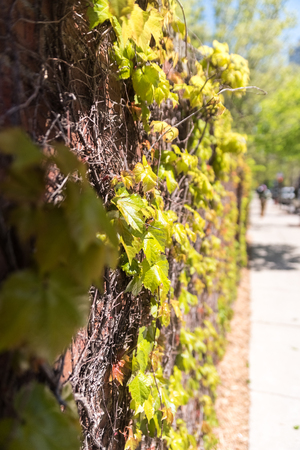 textured wall: Green flowers on a brick wall in the street
