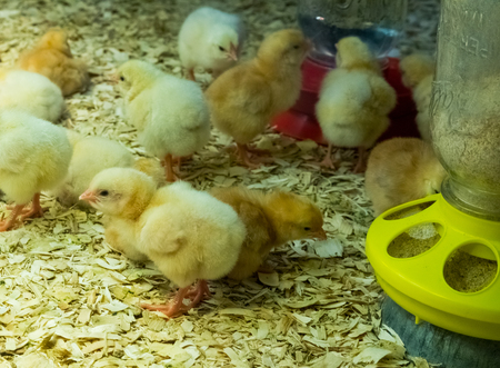 Little young yellow chicken poults in a glass container