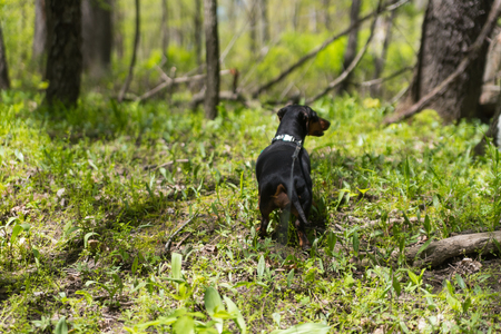 Young black dachshund on an alley in the park Stock Photo
