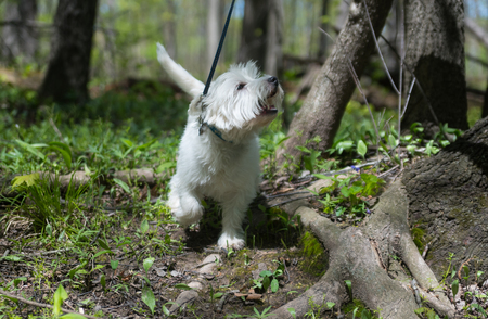 West highland white terrier playing in a park