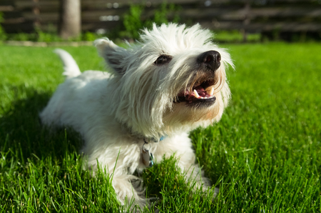 West Highland White Terrier 스톡 콘텐츠