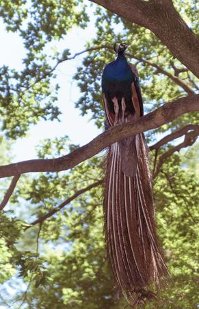 Beautiful big peacock Stock Photo