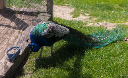 Beautiful big peacock in a zoo