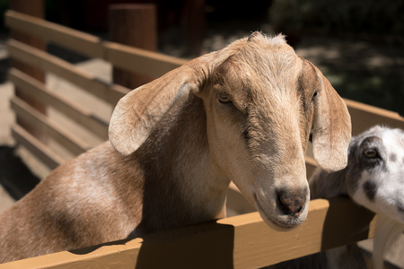 Big young goat on a country side farm Stock Photo