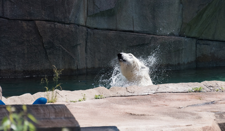 Big white bear in a water in a zoo