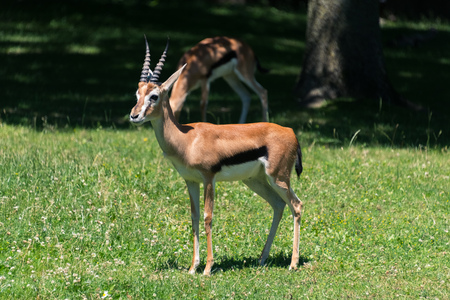 Big impala on the green grass on the field