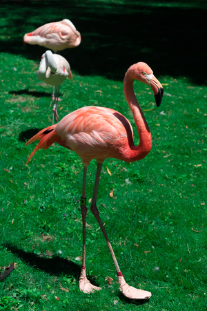 Beautiful big flamingo in a Milwaukee zoo