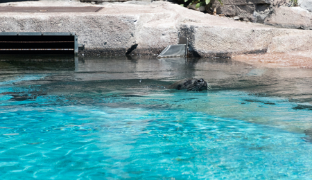 Sea lion swimming in the water in a zoo