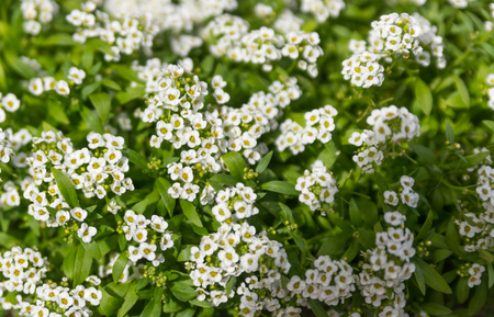 Small white flowers on a green bush stock photo picture and royalty small white flowers on a green bush stock photo 90333988 mightylinksfo