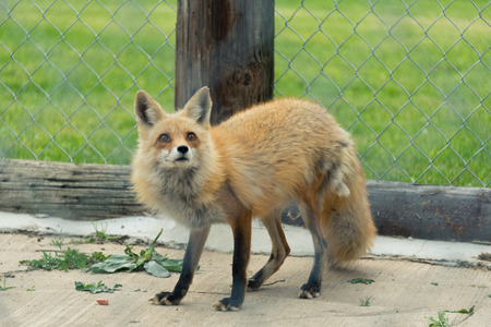 Young red fox in a Milwaukee zoo Stock Photo
