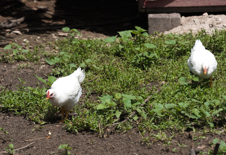 White chicken on a green grass on the farm