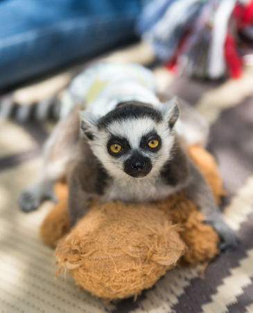 Small young lemur with a diapers on him Stock Photo