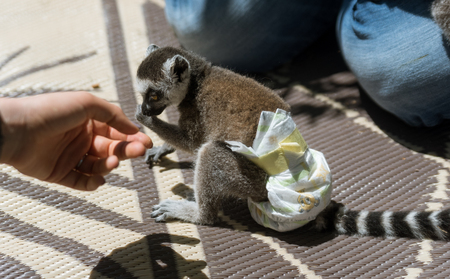 Small young lemur with a diapers on him Фото со стока