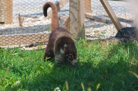 Big coatimund on a country  farm