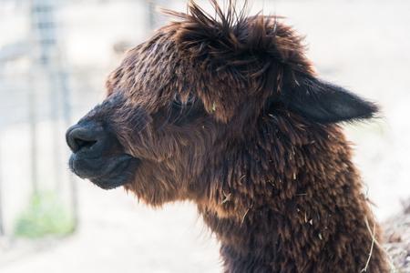 Big alpaca on a country farm