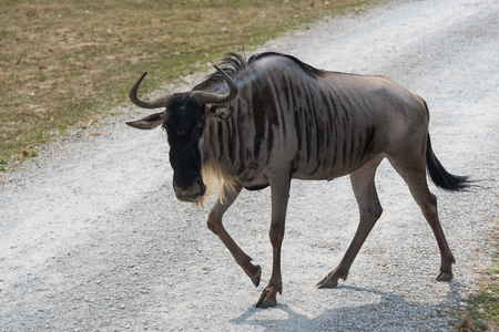 Big wildebeest on a country safari farm Stock Photo