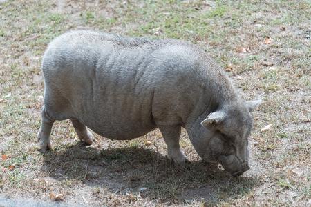 Big pig on a country farm