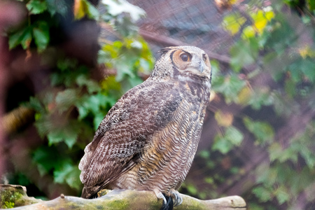 Big one eyed owl sitting on a branch Stock Photo