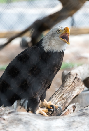 Big bald eagle sitting on a branch in a zoo