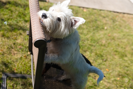 West Highland White Terrier playing on a backyard Stock Photo