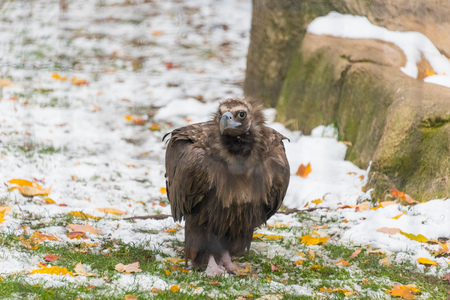 Big brown vulture in a city zoo
