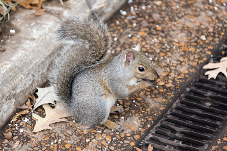 Big squirrel eating a nut on the ground Stock Photo
