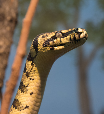 Big yellow snake in a city zoo