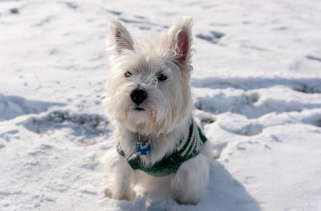 West Highland White Terrier playing in a snow in the park Stock Photo