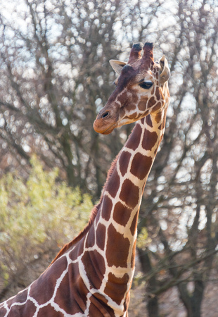 Beautiful big giraffe in a city zoo 版權商用圖片