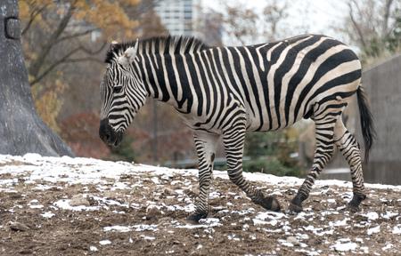 Big beautiful zebra in a city zoo