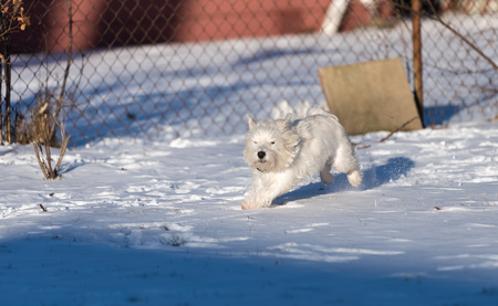 Cute west highland white terrier playing in snow