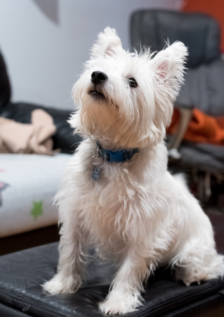 Cute west highland white terrier sitting on a couch Stock Photo