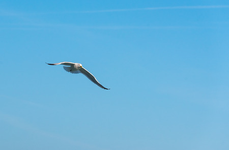 Large seagull flies in the blue sky Stock Photo