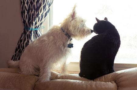 西高地テリアと窓に座っている黒猫 写真素材