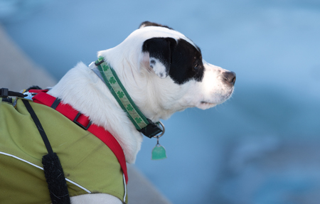 White dog with black spots in a green coat