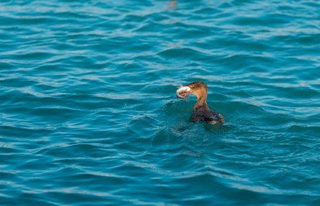 Red-breasted merganser hunting for a fish in a lake